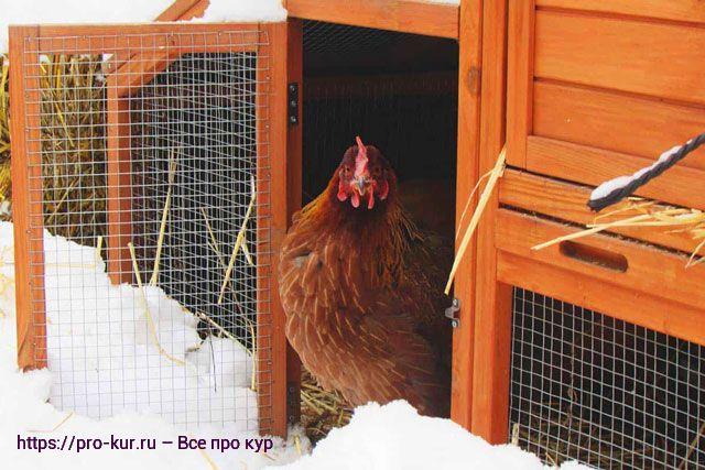 Герметичный курятник зимой не спасет несушек от морозов.