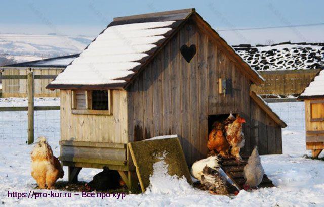 Куры зимой фото.
