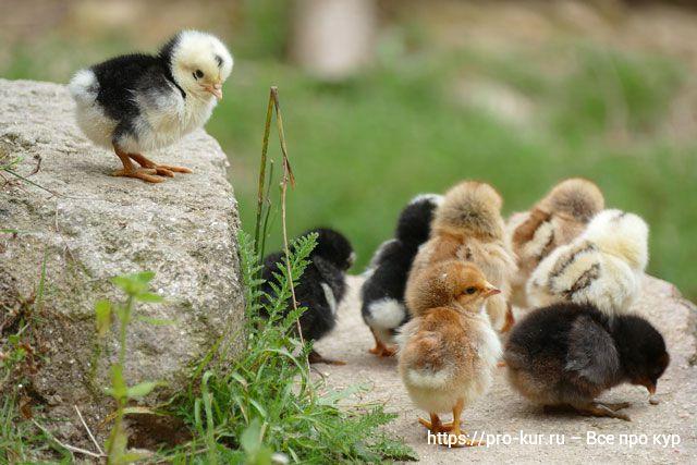 Как вырастить цыплят без потерь в домашних условиях.