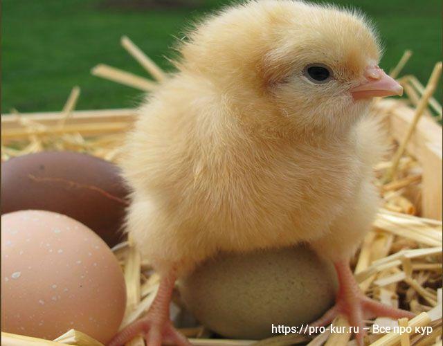Суточный цыпленок фото.
