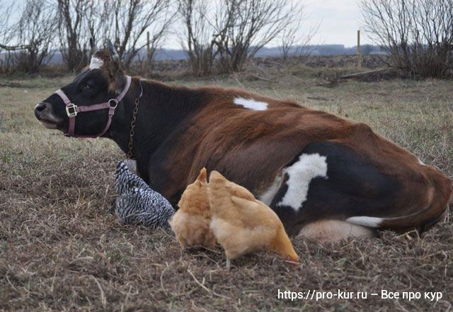 Коровье молоко курам можно ли давать?