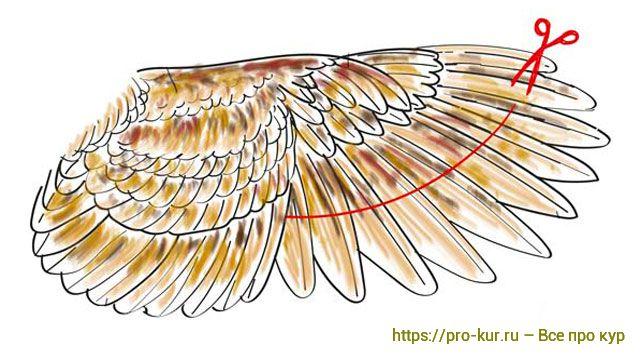 Обрезка крыла курицы в 3 шага схема.