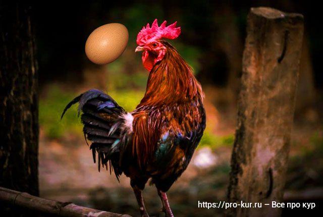 Яйца без петуха и с петухом чем отличаются, есть разница?