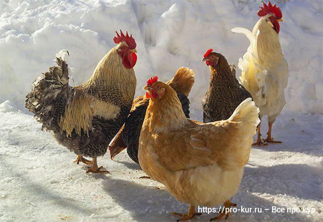 Дополнительный кальций курам несушкам перед инкубацией яиц.