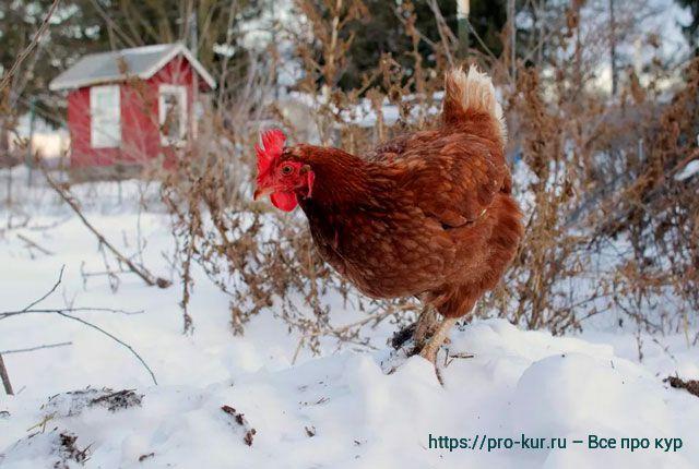 Контрольный список дел птицевода на январь месяц.