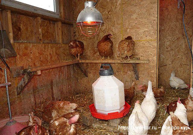Тепловые лампы для кур и цыплят ставить или нет?