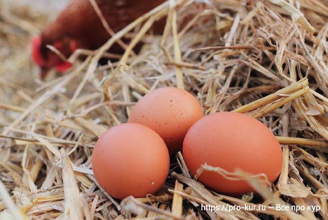 Яйца без петуха и с петухом – какая разница?