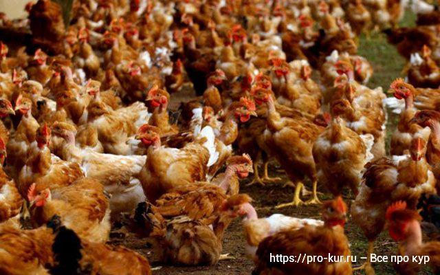 Где купить кур несушек или цыплят: птицефабрика, фермер или рынок.