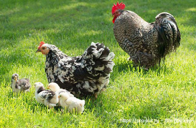 Где купить кур или цыплят: птицефабрика, фермер или рынок.