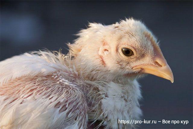 Инфекционная анемия цыплят-бройлеров синее крыло.