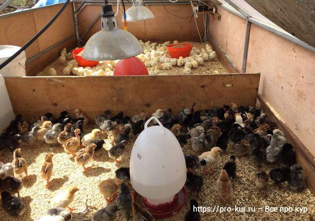 Как обустроить брудер цыплятам.