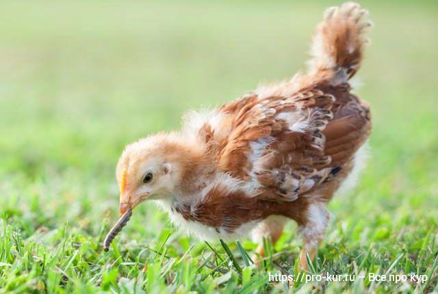 Корм для цыплят и молодняка кур в домашних условиях.