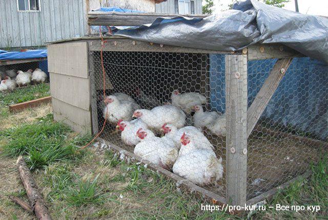 Кормление цыплят-бройлеров в домашних условиях для быстрого роста.