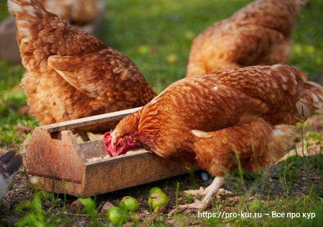 Кормление кур мясояичных пород в домашних условиях – нормы.