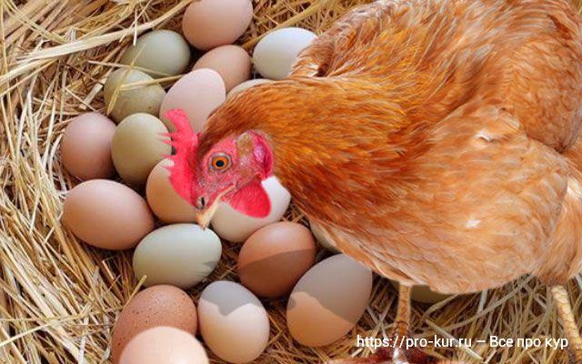 Куры несушки весной и подготовка к интенсивной яйцекладке.