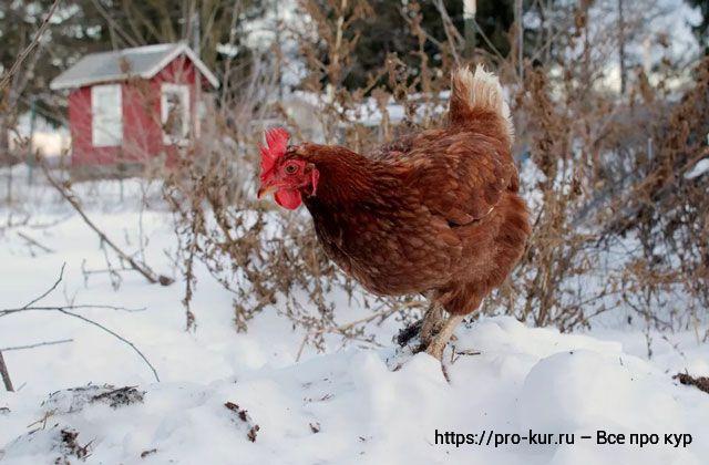 Почему не несутся куры зимой – 4 причины и что делать.
