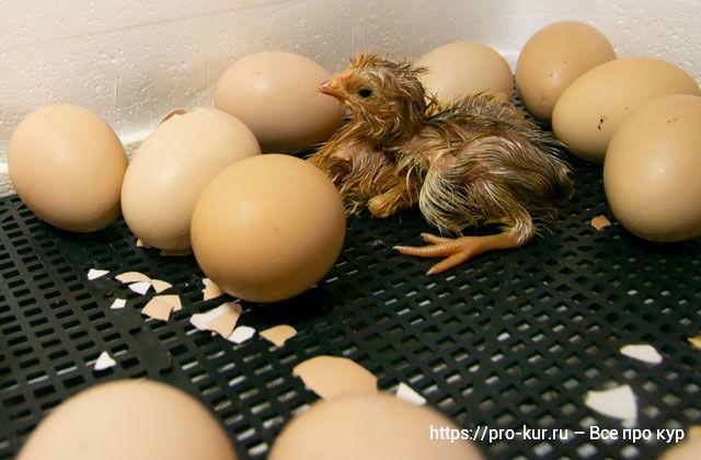 Почему не вылупились цыплята в инкубаторе причины.