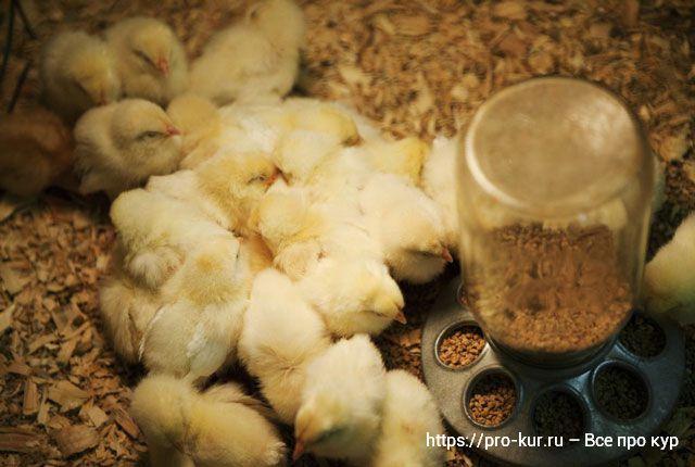 Разведение цыплят на продажу как прибыльный бизнес.