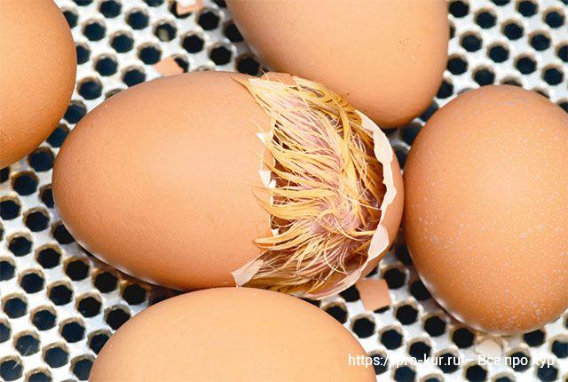 Секреты покупки цыплят, кур и яиц для инкубации.