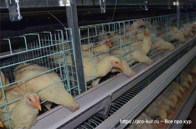 Клеточные системы содержания цыплят-бройлеров.