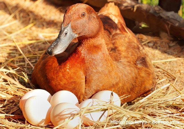 Сколько утка сидит на яйцах.