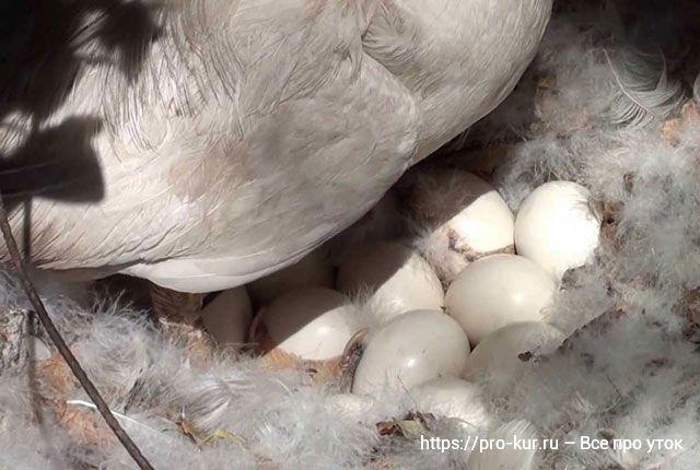 Утка сидит на яйцах – сколько дней, как кормить и ухаживать.
