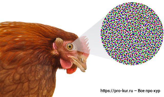 Болезни глаз у кур – симптомы и лечение в домашних условиях.
