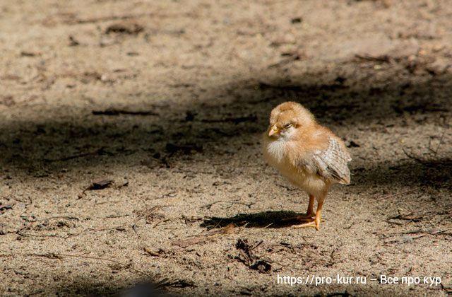 Чем и как кормить мясных цыплят с первого дня жизни.