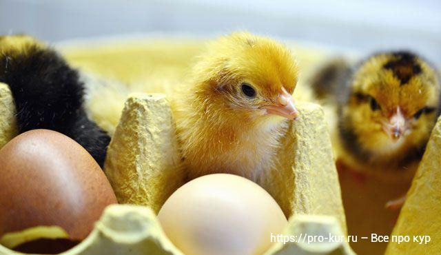 Чем и как кормить яичных и мясных цыплят в домашних условиях.