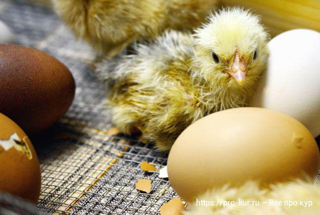 Кормление цыплят в первый день жизни.