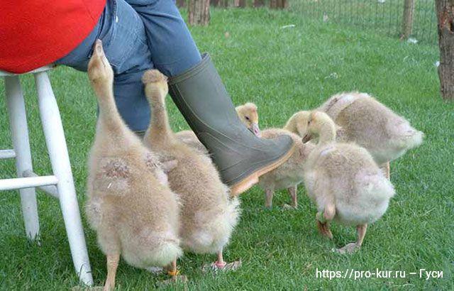 Домашние гуси – разведение и выращивание в домашних условиях.