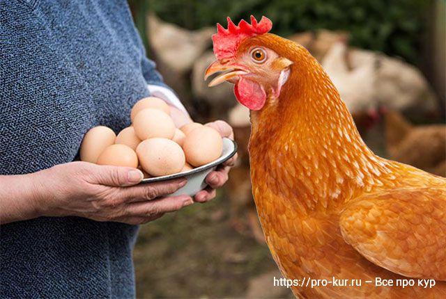 Несушка и миска с яйцами фото.