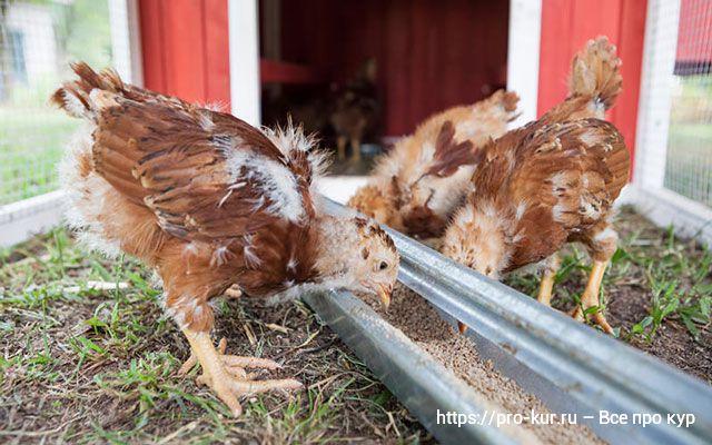 Можно ли кормить цыплят несушек комбикормом для цыплят бройлеров?