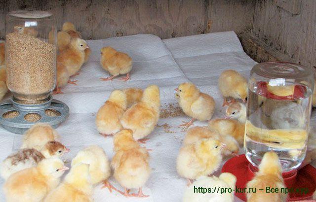 Особенности правильного рациона цыплят, чем и как кормить.