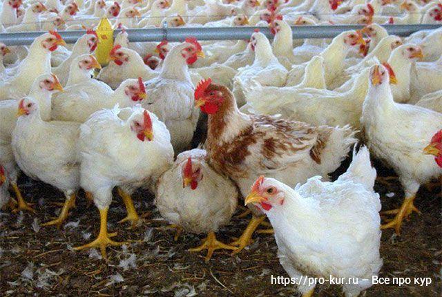Бройлеры Хаббард отзывы и до скольких килограмм растут белые цыплята.