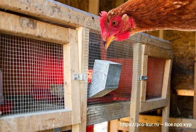 Брудер с цыплятами на улице в курятнике илисарае что учесть?