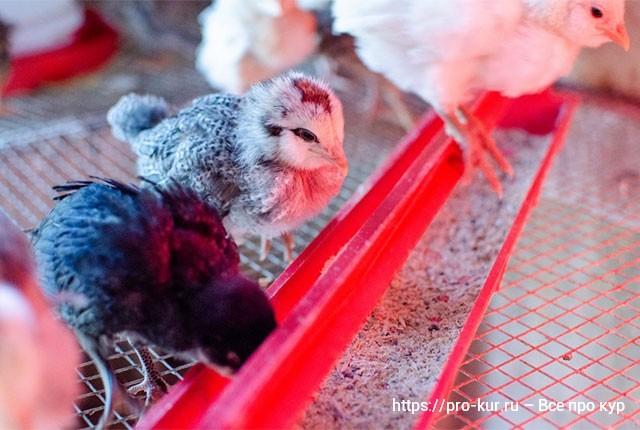 Брудер с цыплятами на улице в курятнике или сарае, что учесть?