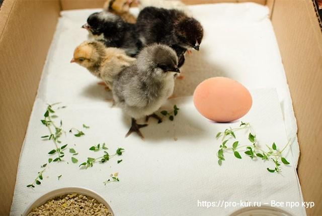 Суточные цыплята в коробке фото.