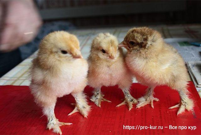 Что нужно цыплятам в первые дни жизни список и советы.