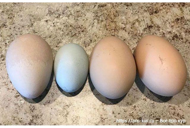 Как форма яйца влияет на пол цыпленка.