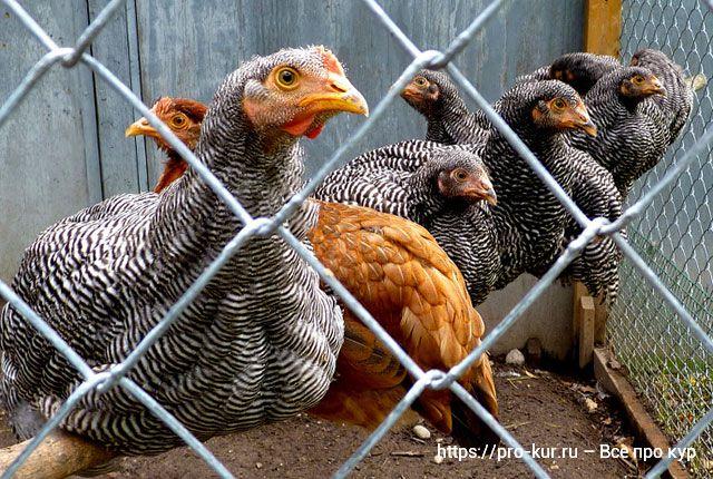 Как правильно перевести цыплят в общий курятник к старым курам.