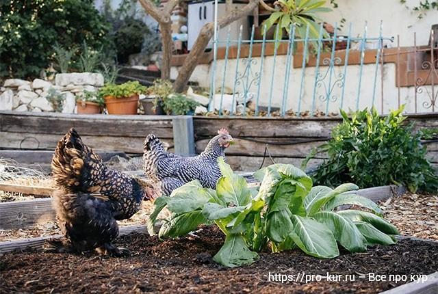 Каким зерном лучше кормить кур несушек и как сделать зерносмесь своими руками в домашних условиях.