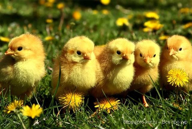 Когда цыплят можно выпускать на улицу и оставлять на ночь.
