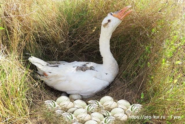 Когда начинают нестись гуси домашние во сколько месяцев.
