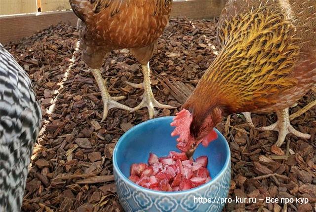 Кормление кур несушек летом – нормы и рацион для яйценоскости.