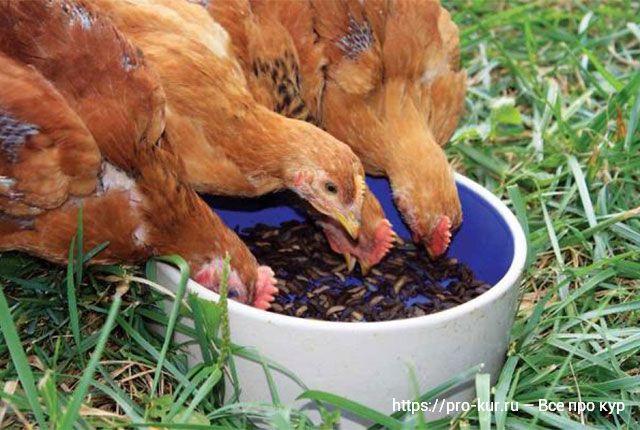 Кормление молодняка кур в домашних условиях.