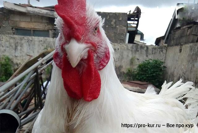 Основы кормления кур несушек яичных, мясных пород и бройлеров.