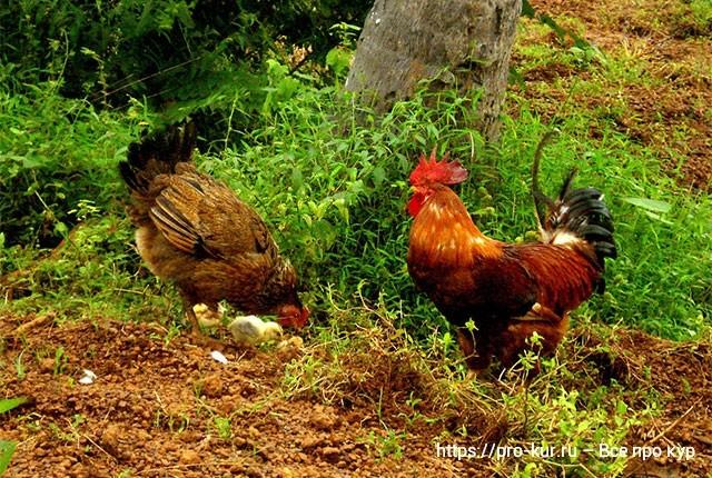 Петушок или курочка – как отличить цыплят и определить пол.