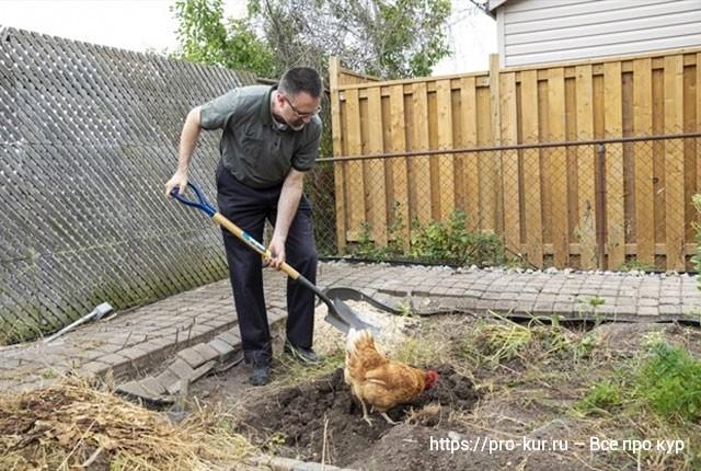 Содержание кур несушек на даче летом и выращивание бройлеров.