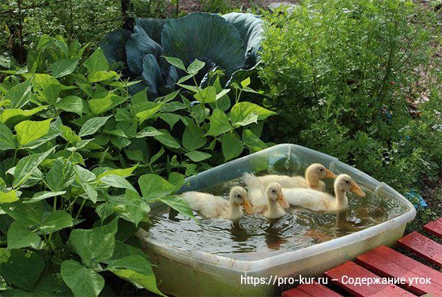 Содержание уток в домашних условиях на даче или в саду.